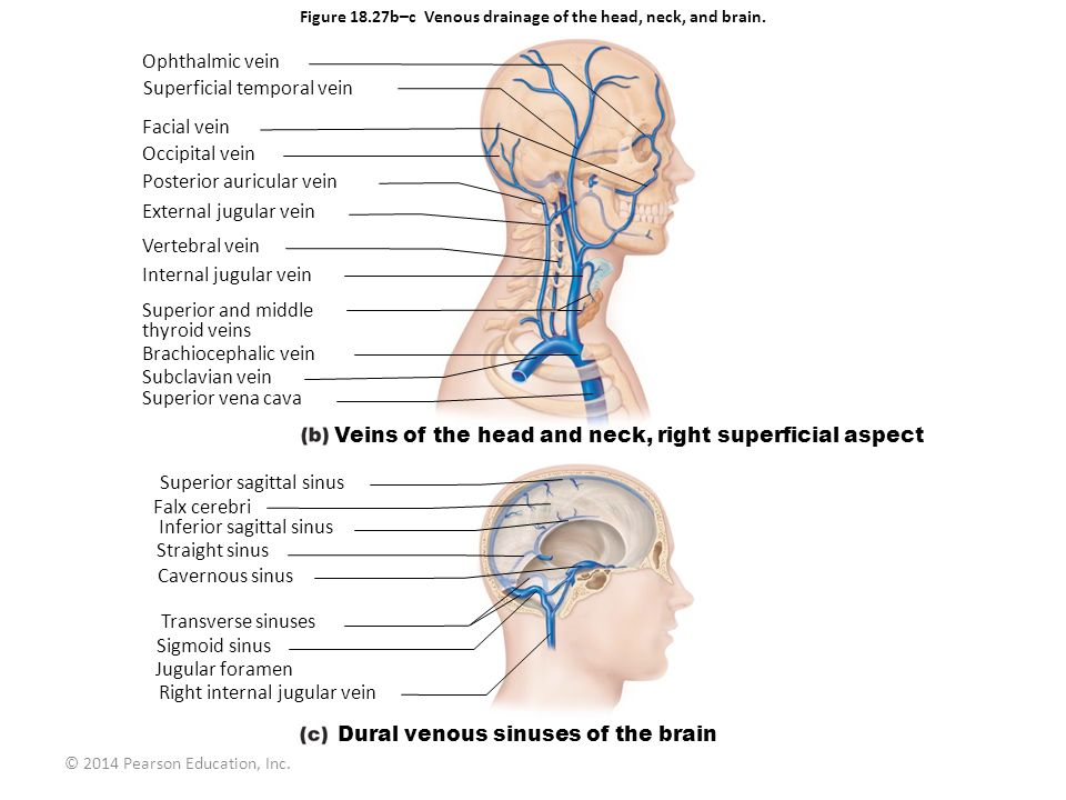 Figure 18.27b–c Venous drainage of the head, neck, and brain.
