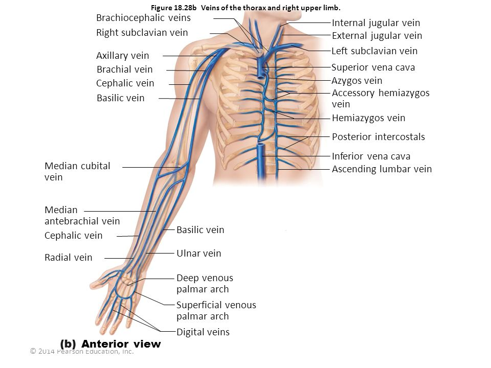 Figure 18.28b Veins of the thorax and right upper limb.