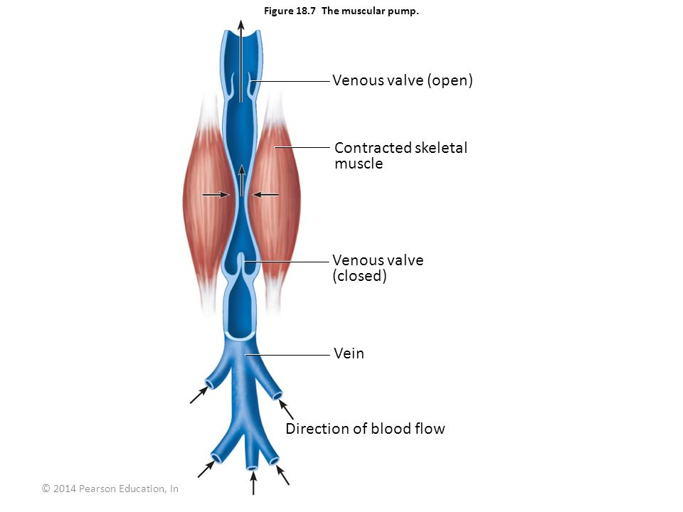 Figure 18.7 The muscular pump.