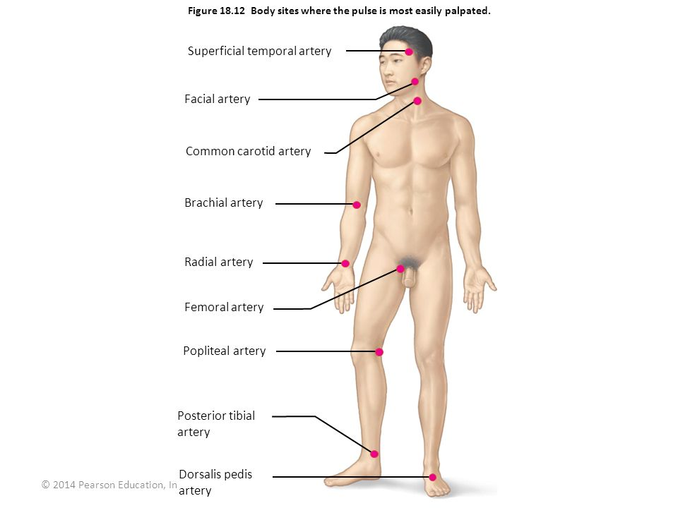 Figure 18.12 Body sites where the pulse is most easily palpated.