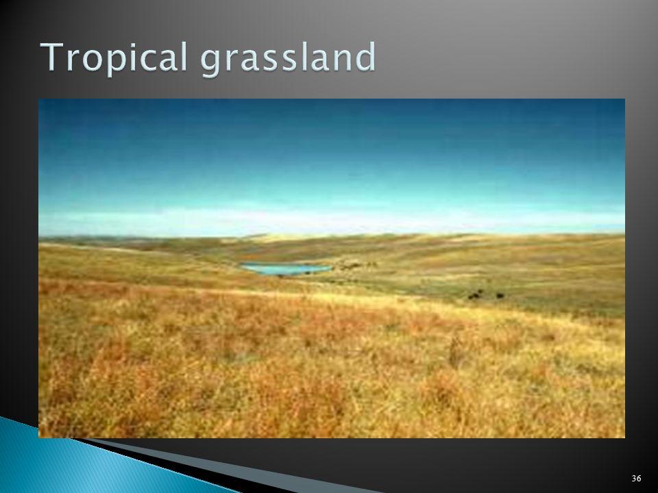 Tropical grassland