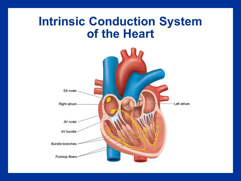 the cardiovascular system intrinsic conduction system The cardiovascular system: the heart anatomy 18 heart anatomy approximately the size of your fist location superior surface of diaphragm left of the midline anterior to the vertebral column, posterior to the sternum.