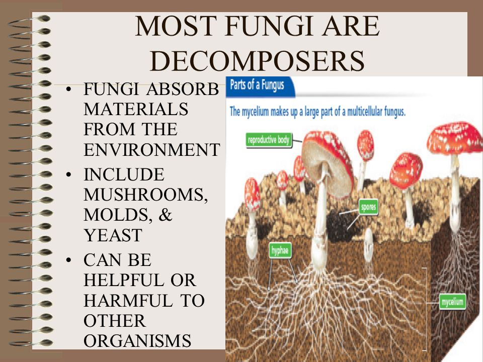 helpful and harmful fungi They can give us a source of food like mushrooms a yeast fungus called saccharomyces cereviseae is used to make the alcohol in beer this same fungus is.