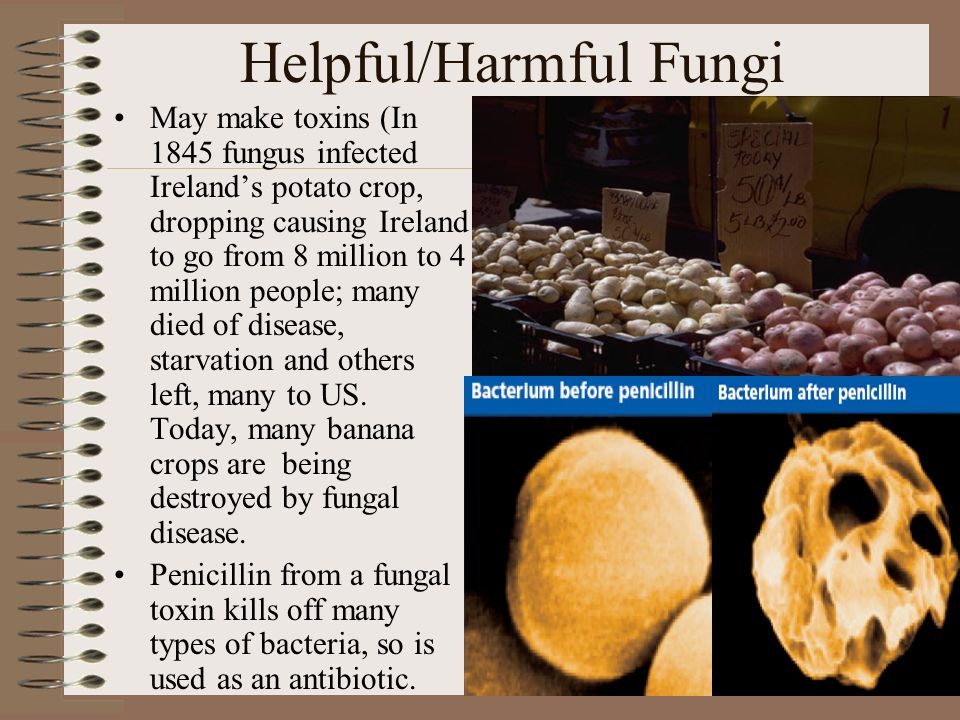 How are fungi helpful to humans and how are they harmful?
