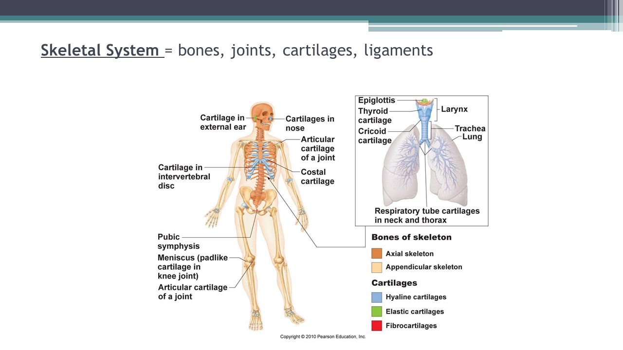 skeletal system bones and joints Bone tissue and the skeletal system  and bone tissue calcium homeostasis:  interactions of the skeletal system and other organ systems  from a  mechanical point of view, bones act as levers and joints serve as fulcrums ([link].