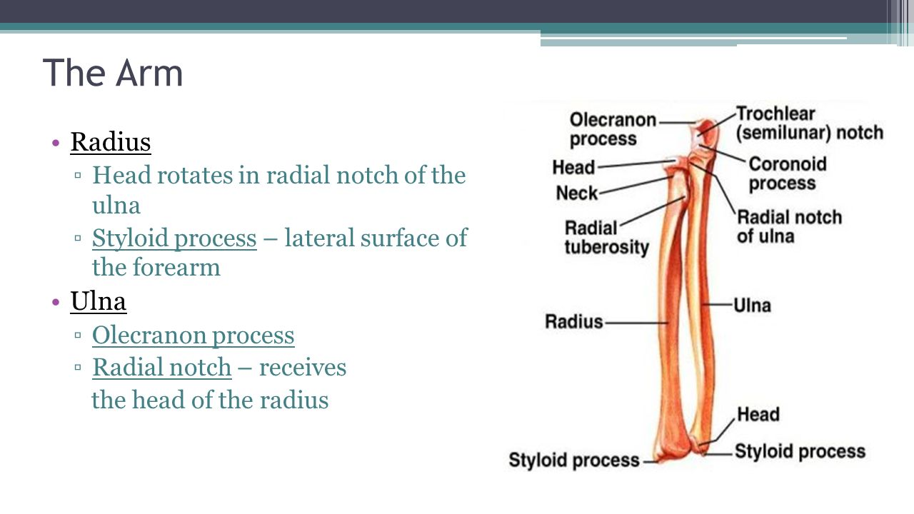 Anatomy of radius and ulna 6013388 - follow4more.info