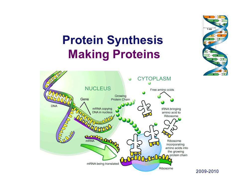 protien synthesis Protein synthesis proteins are the workhorses of the cell, controlling virtually every reaction within as well as providing structure and serving as signals to other cells.