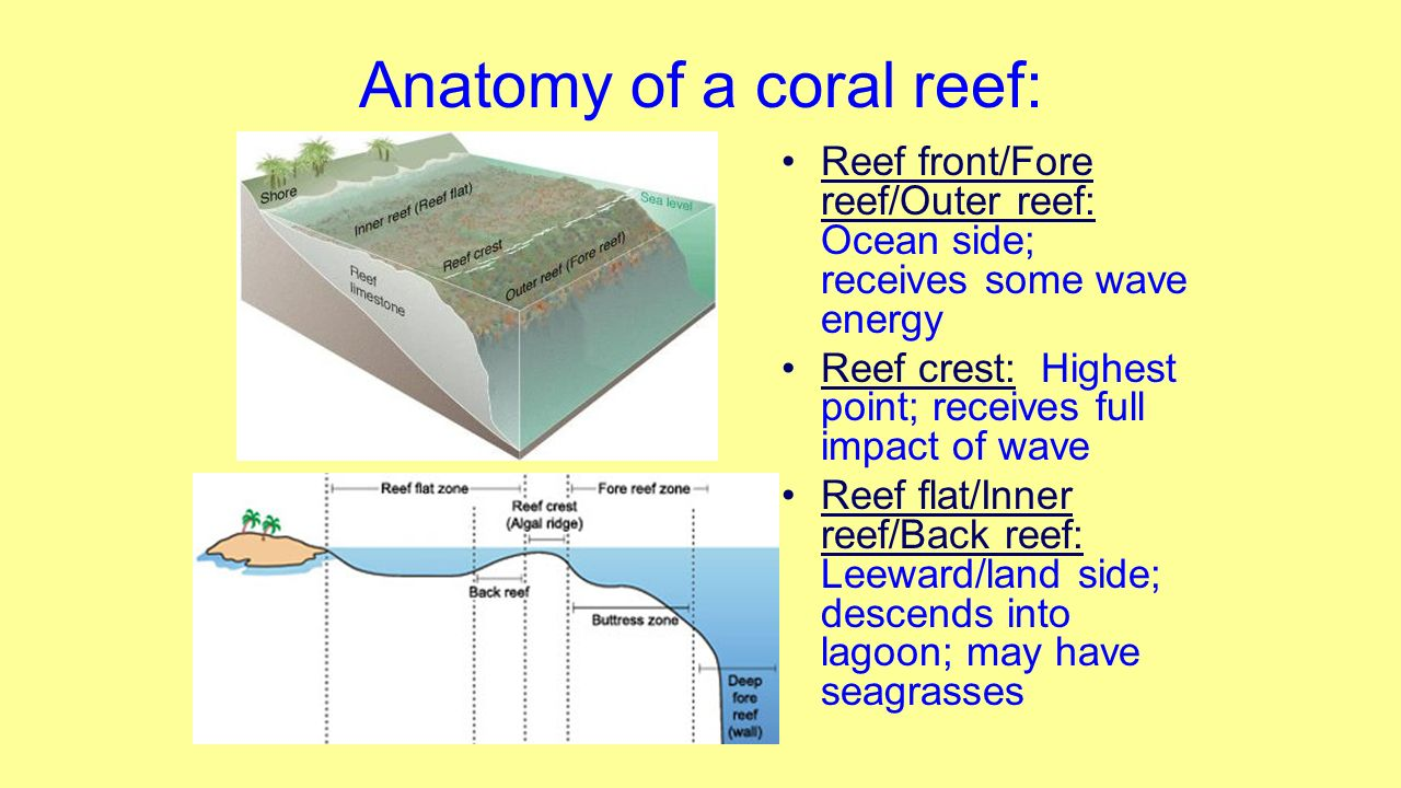 Fantastic Coral Reef Anatomy Image Collection Physiology Of Human