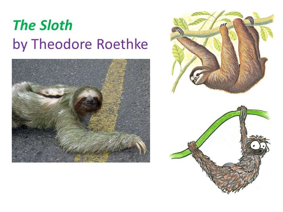 the sloth theodore roethke Theodore roethke was born on may 25, 1908, in saginaw, michigan roethke is one of the most respected of american poets roethke is one of the most respected of american poets over the course of his career he garnered many prizes for his poetry, including the pulitzer prize in 1953 two national book awards and the bollingen prize.