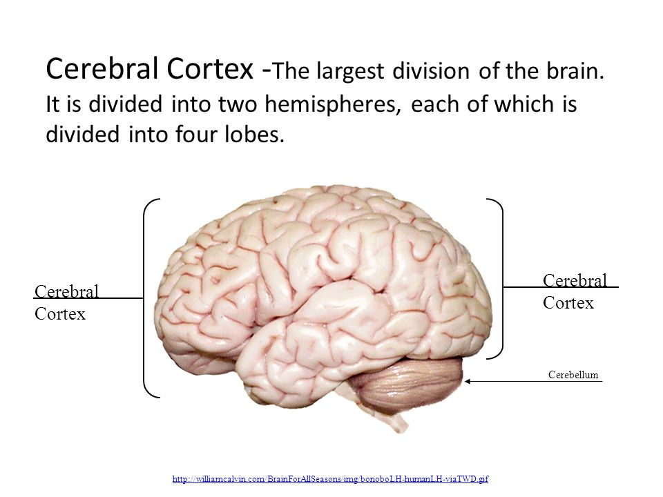 cerebral cortex the largest division of the brain