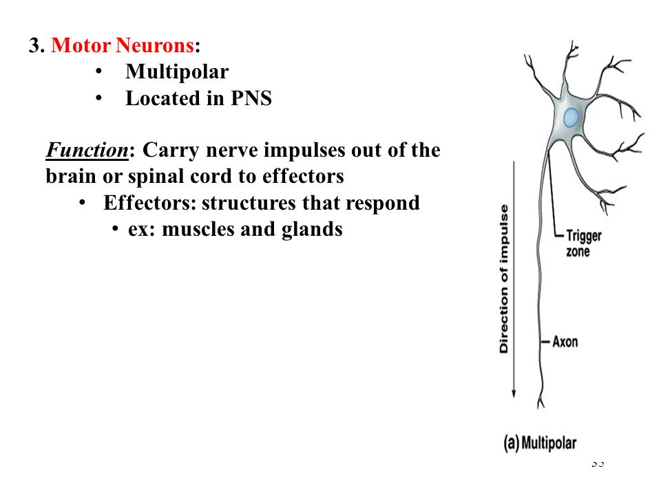Motor Neurons: Multipolar. Located in PNS. Function: Carry nerve impulses