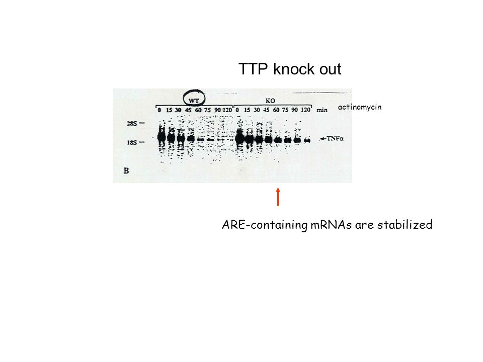 TTP knock out actinomycin ARE-containing mRNAs are stabilized