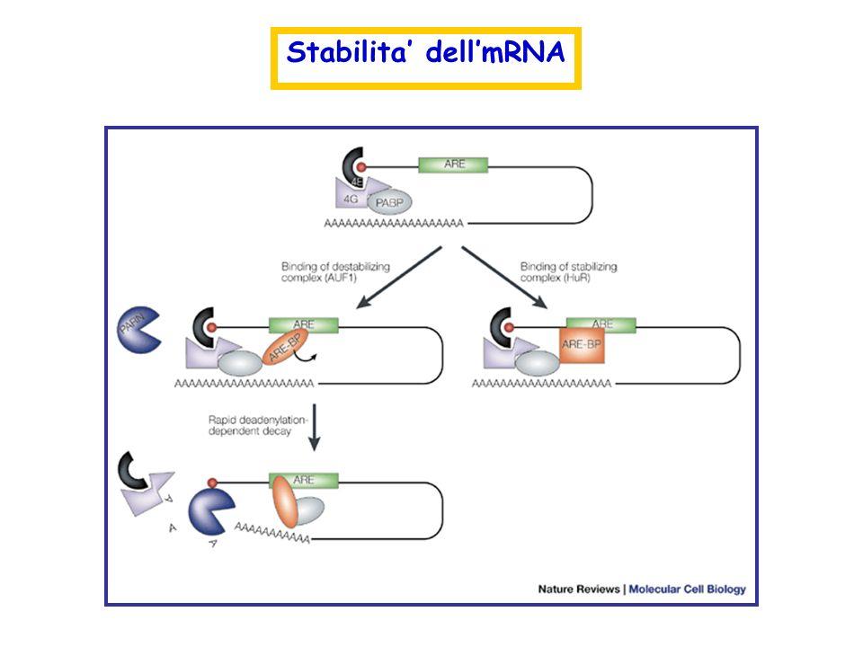 Stabilita' dell'mRNA