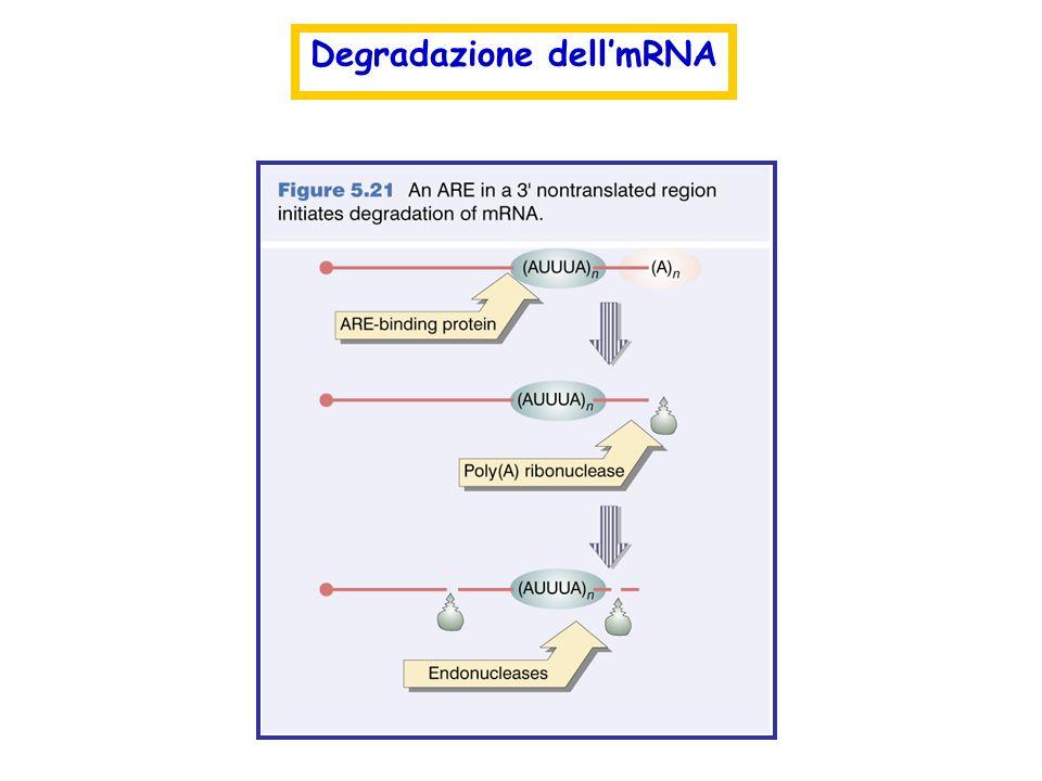 Degradazione dell'mRNA