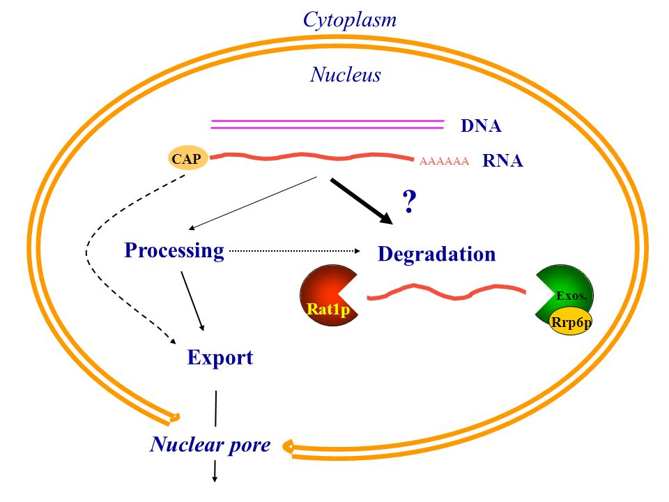 Cytoplasm Nucleus Processing Degradation Export Nuclear pore DNA RNA