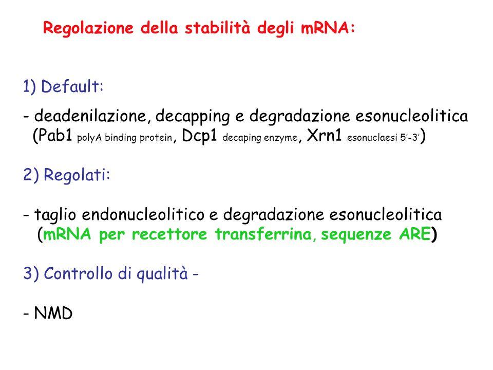 Regolazione della stabilità degli mRNA: