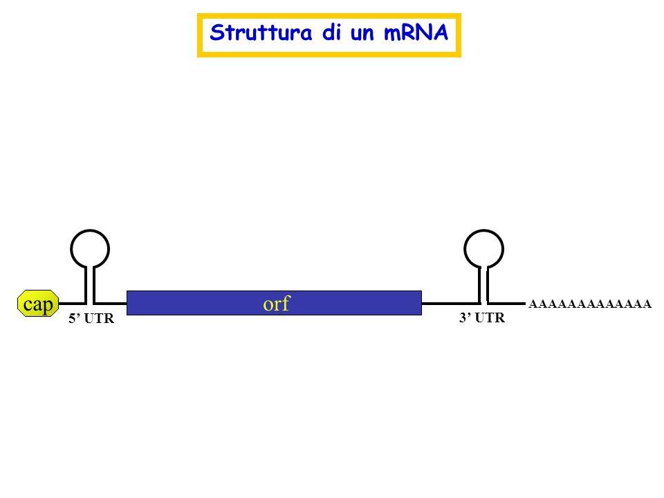 Struttura di un mRNA cap orf AAAAAAAAAAAAA 5' UTR 3' UTR