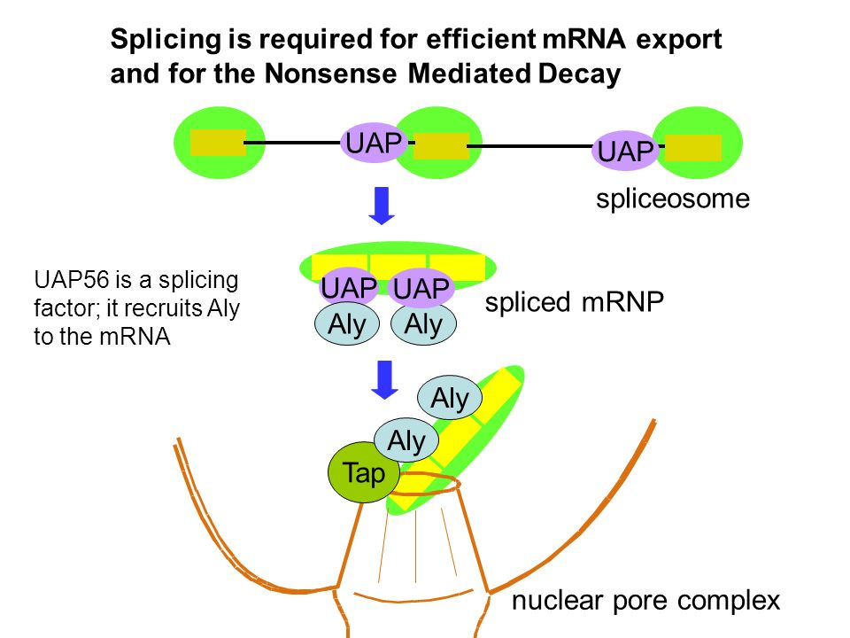 Splicing is required for efficient mRNA export and for the Nonsense Mediated Decay