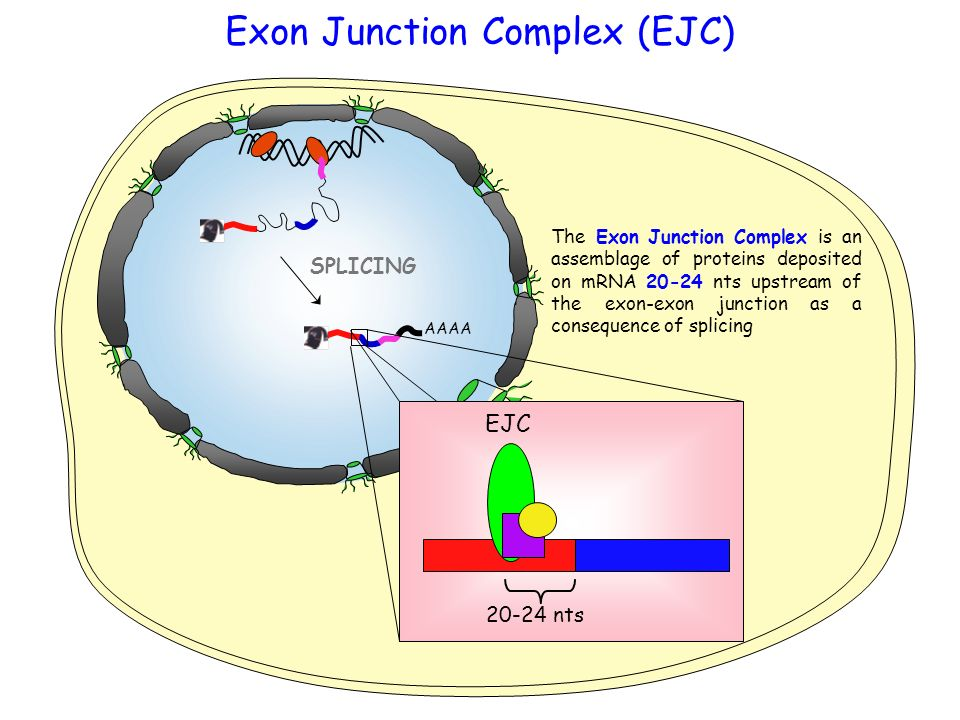 Exon Junction Complex (EJC)