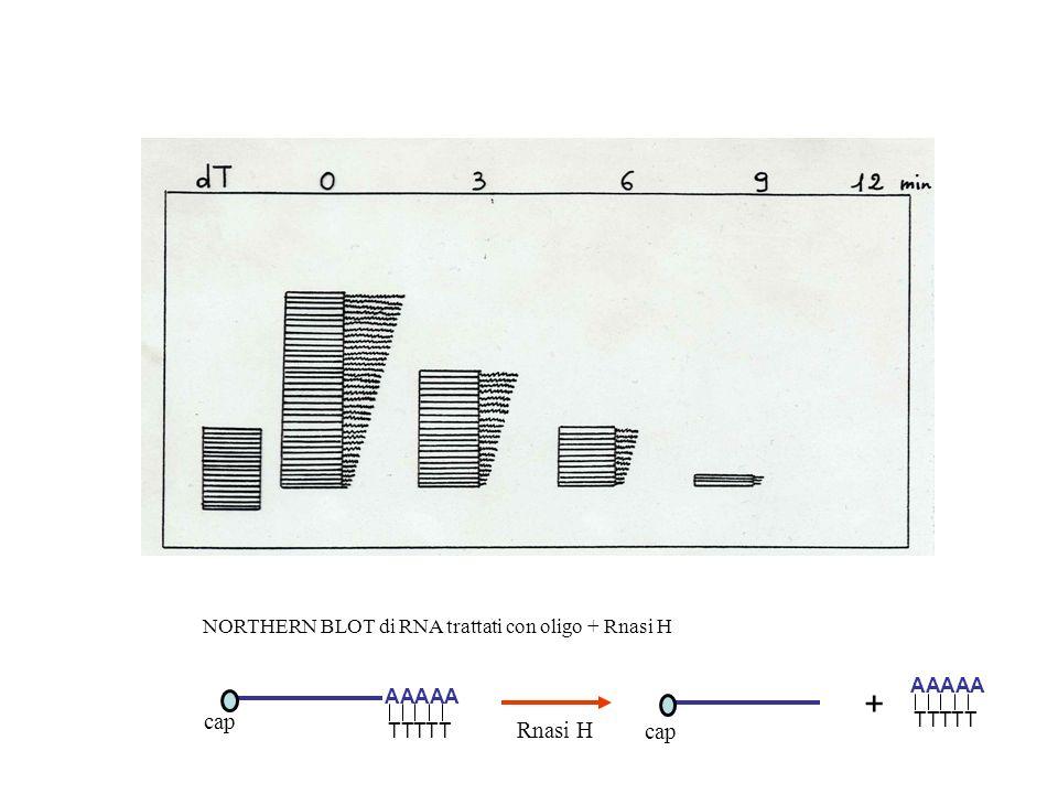 + cap Rnasi H cap NORTHERN BLOT di RNA trattati con oligo + Rnasi H