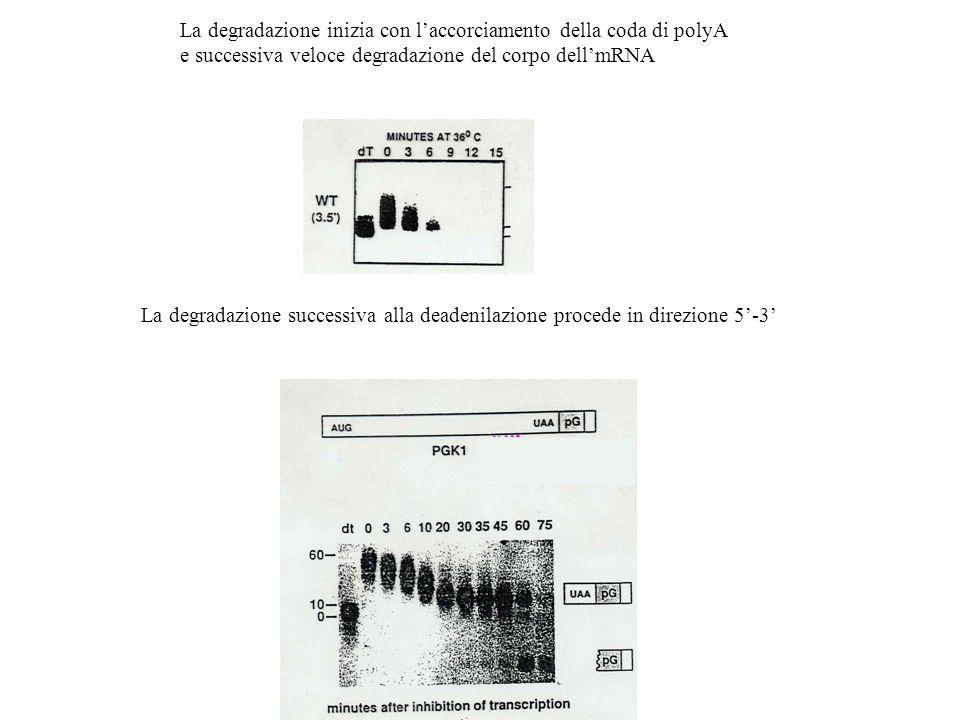 La degradazione inizia con l'accorciamento della coda di polyA