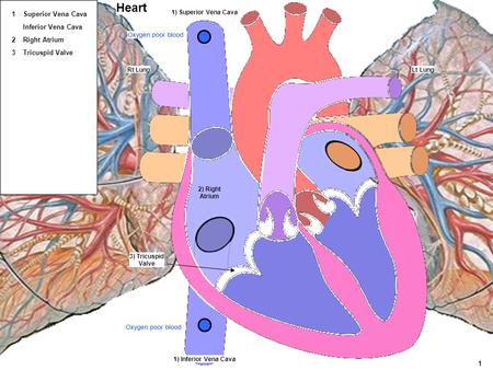 Heart 1 Superior Vena Cava Inferior Vena Cava 2 Right Atrium 3