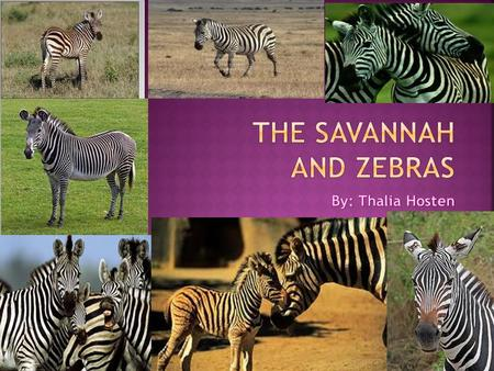  A zebra is a horse like creature with White- and –Black stripes. Each zebra has a different striped pattern. Just like the pattern of snowflakes and.