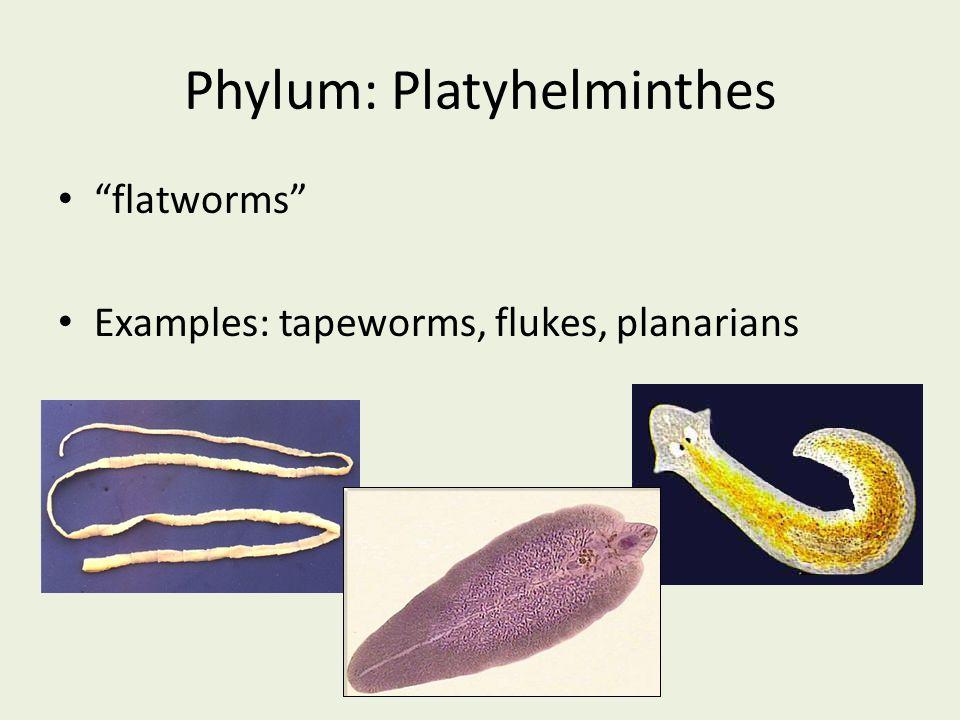 Phylum platyhelminthes taenia A paraziták székrekedést okozhatnak?