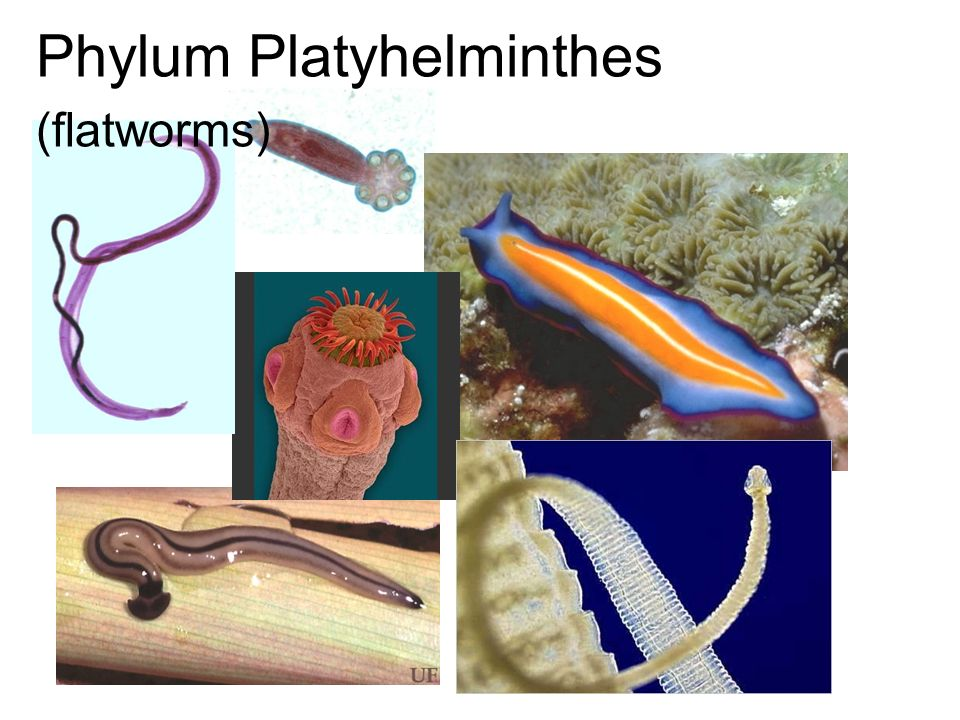 platyhelminthes flatworms ppt)