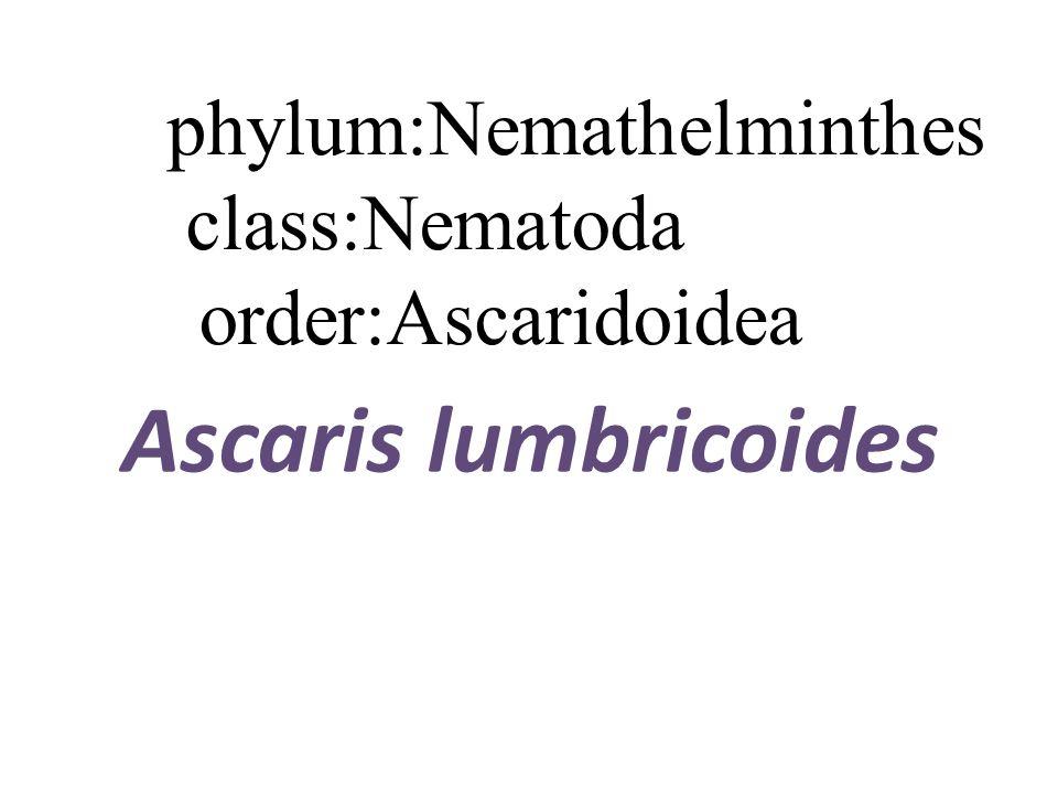 Anyag nemathelminthes ppt - Les nemathelminthes ppt