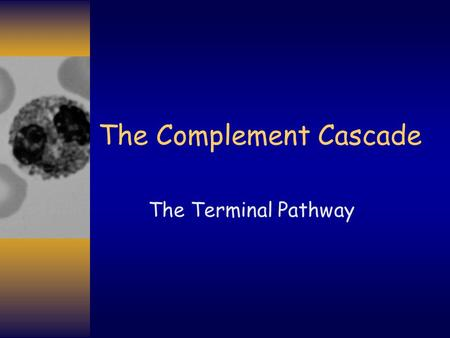 The Complement Cascade The Terminal Pathway. Complement: The Terminal Pathway C3b C3b is the first component of the Terminal Pathway C3a C3.