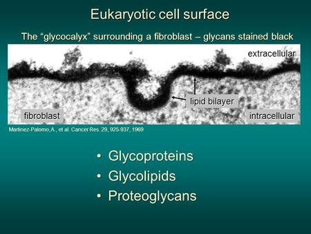 "The ""glycocalyx"" surrounding a fibroblast – glycans stained black lipid bilayer fibroblast extracellular intracellular Martinez-Palomo, A., et al. Cancer."