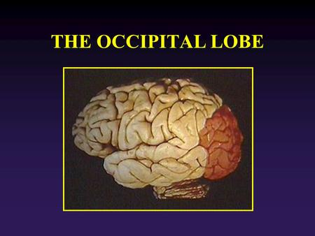 THE OCCIPITAL LOBE. Function: Vision: perception of form, movement and color. OL Separated from parietal lobe by: Parieto-occipital sulcus. Within the.