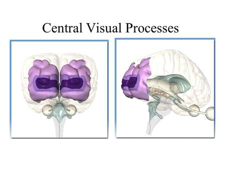Central Visual Processes. Anthony J Greene2 Central Visual Pathways I.Primary Visual Cortex Receptive Field Columns Hypercolumns II.Spatial Frequency.