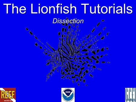 The Lionfish Tutorials Dissection. Lionfish in the Atlantic.