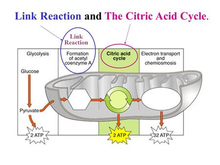 Link Reaction Link Reaction and The Citric Acid Cycle.