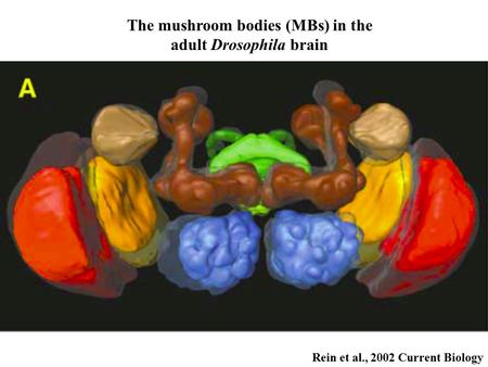 Rein et al., 2002 Current Biology The mushroom bodies (MBs) <strong>in</strong> the adult <strong>Drosophila</strong> brain.