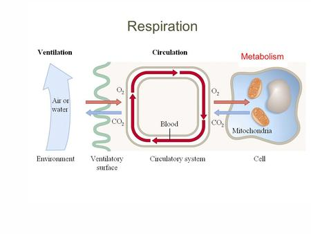 Respiration Metabolism. Respiration What is unique about blood in pulmonary arteries compared with blood in other arteries? a) Blood in pulmonary arteries.