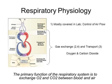 Respiratory Physiology The primary function of the respiratory system is to exchange O2 and CO2 between blood and air 1) Mostly covered in Lab; Control.