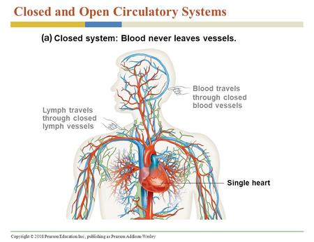 Copyright © 2008 Pearson Education Inc., publishing as Pearson Addison-Wesley Closed and Open Circulatory Systems Closed system: Blood never leaves vessels.