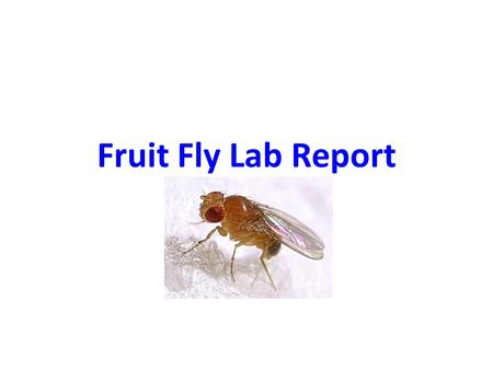 Fruit Fly Lab Report. Basics Completed individually – everyone's should be different except for combined data Typed Due 1/20 or Earlier – on paper, unless.