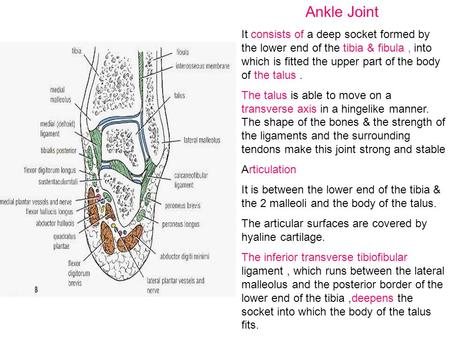 Ankle Joint It consists of a deep socket formed by the lower end of the tibia & fibula , into which is fitted the upper part of the body of the talus .