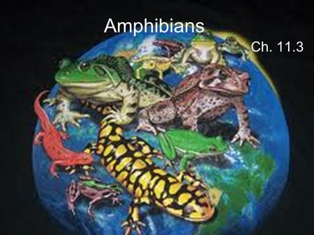 Amphibians Ch. 11.3. What is an Amphibian? An Amphibian is a vertebrate that is ectothermic and spends its early life in water. The word Amphibian means.