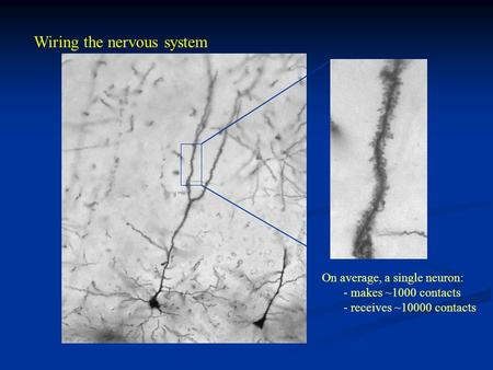 Wiring the nervous system On average, a single neuron: - makes ~1000 contacts - receives ~10000 contacts.