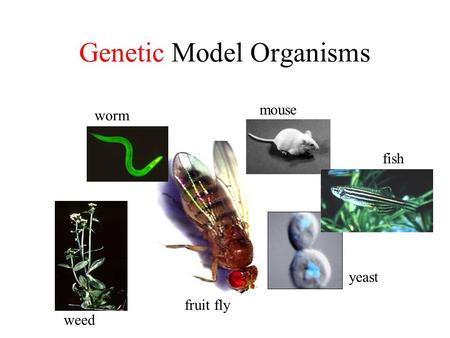 Genetic Model Organisms worm mouse fish yeast fruit fly weed.