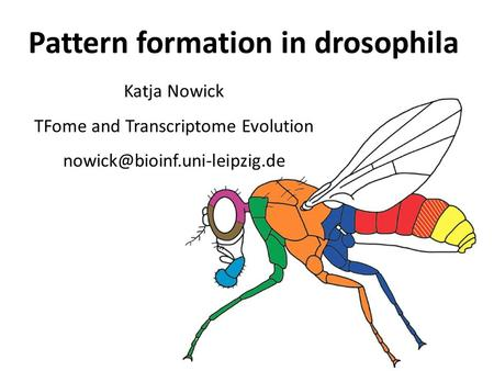 Pattern formation in drosophila Katja Nowick TFome and Transcriptome Evolution