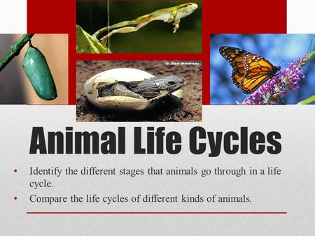 Animal Life Cycles Identify the different stages that animals go through in a life cycle. Compare the life cycles of different kinds of animals.