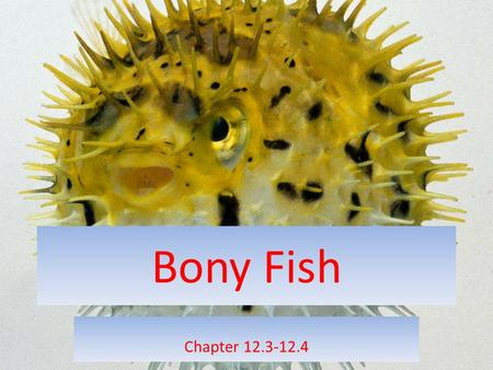 Bony Fish Chapter 12.3-12.4. Bony Fish Phylum Cordata – Class Osteichthyes About 95% of all the fish on Earth belong to this Class. Bony fish are vertebrates.