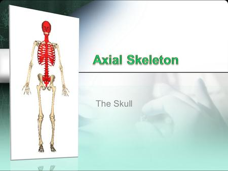 Axial Skeleton The Skull.