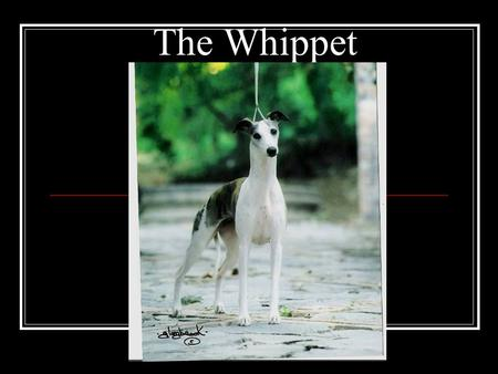 "The Whippet. History Evolved in 18 th & 19 th century Northern England by working class Hunting dog/race dog for sport ""Poor Man's Racehorse"" at a time."